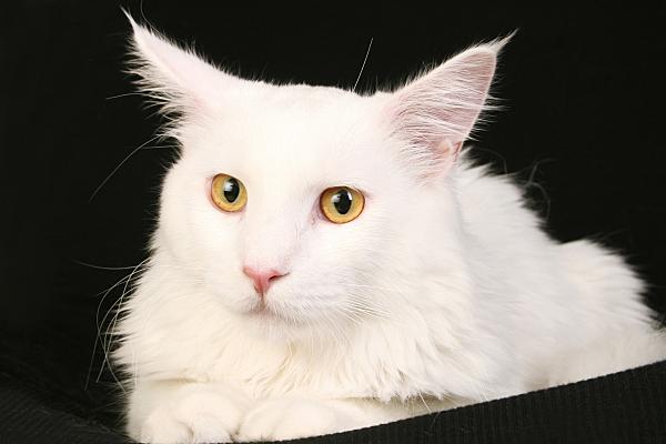 Tierfoto weiße Katze vor dunklem Hintergrund.