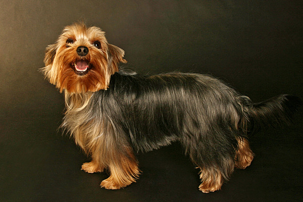 Tierfoto kleiner, brauner Hund vor dunklem Hintergrund.
