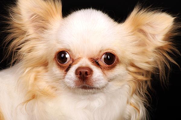 Tierfoto heller, kleiner Hund vor dunklem Hintergrund.