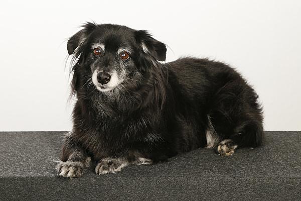 Tierfoto dunkler, kleiner Hund auf Kissen.